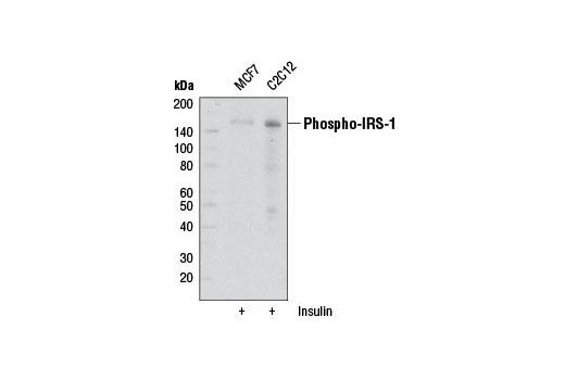 Monoclonal Antibody - Phospho-IRS-1 (Ser302) (34C7) Rabbit mAb, UniProt ID P35568, Entrez ID 3667 #2491 - Primary Antibodies