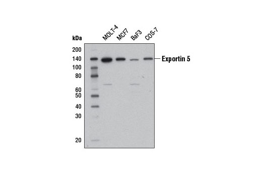 Monoclonal Antibody Western Blotting Pre-Microrna Export from Nucleus - count 2