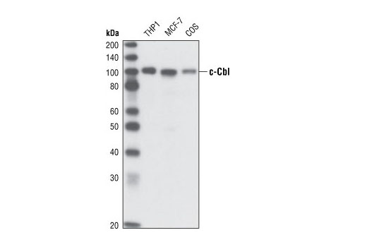 Monoclonal Antibody - c-Cbl (C49H8) Rabbit mAb - Immunoprecipitation, Western Blotting, UniProt ID P22681, Entrez ID 867 #2179, Cbl