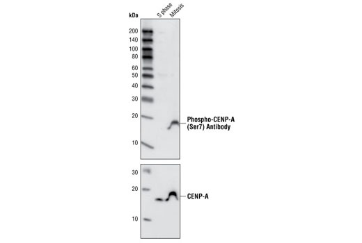 Western blot analysis of extracts from HeLa cells arrested in S phase or mitosis using Phospho-CENP-A (Ser7) Antibody (upper panel) or CENP-A Antibody #2186 (lower panel). S phase cells were treated for 12 hours with thymidine (2 mM), rinsed three times, released into normal growth medium for 10 hours and then treated an additional 12 hours with thymidine before harvesting. Mitotic cells were treated for 12 hours with thymidine, rinsed three times and then treated for 16 hours with paxitaxol (500 nM final).