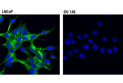 Monoclonal Antibody - Prostate Specific Membrane Antigen (D4S1F) Rabbit mAb, UniProt ID Q04609, Entrez ID 2346 #12702 - Protein Folding and Trafficking
