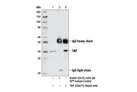 Immunoprecipitation of TBP from HCT 116 cell extracts, using Rabbit (DA1E) mAb IgG XP<sup>®</sup> Isotype Control #3900 (lane 2) or TBP (D5G7Y) Rabbit mAb (lane 3). Lane 1 is 10% input. Western blot analysis was performed using TBP (D5G7Y) Rabbit mAb.