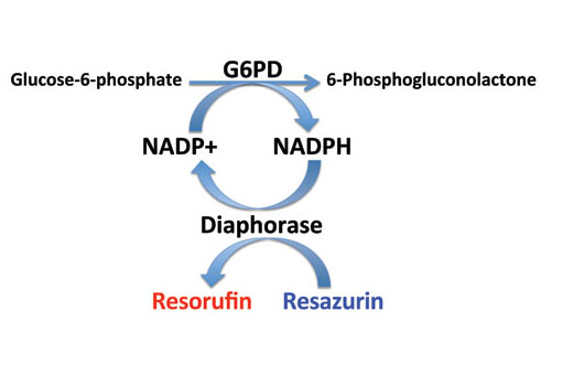 Figure 1. Schematic diagram of glucose-6-phosphate dehydrogenase (G6PD) assay. Glucose-6-phosphate (G6P) is oxidized by G6PD in the presence of NADP, which generates 6-phosphogluconolactone and NADPH. The generated NADPH is then amplified by the diaphorase-cycling system to produce highly fluorescent resorufin molecules.