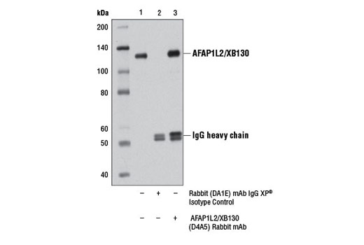 Immunoprecipitation of AFAP1L2/XB130 from A-431 cell extracts using Rabbit (DA1E) mAb IgG XP<sup>®</sup> Isotype Control #3900 (lane 2) or AFAP1L2/XB130 (D4A5) Rabbit mAb (lane 3). Lane 1 is 10% input. Western blot was performed using AFAP1L2/XB130 (D4A5) Rabbit mAb.
