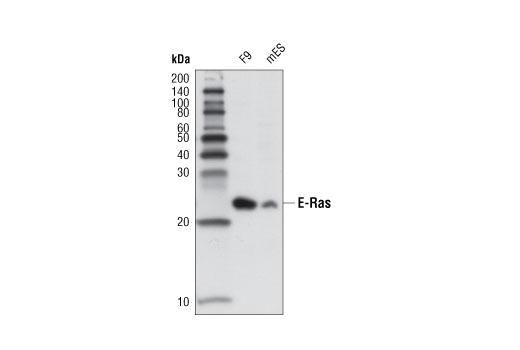Monoclonal Antibody - E-Ras (D5G5J) Rabbit mAb - Western Blotting, UniProt ID Q7Z444, Entrez ID 3266 #12575