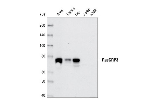 Mouse Ras Guanyl-Nucleotide Exchange Factor Activity