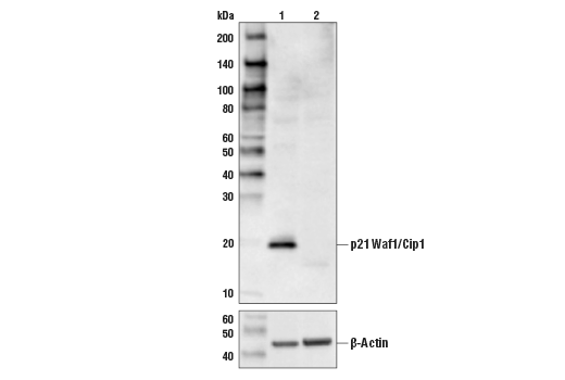 Western blot analysis of HeLa cell extracts, untreated (-) or p21 Waf1/Cip1 knock-out (+) using p21 Waf1/Cip1 (12D1) Rabbit mAb #2947 (upper) or β-Actin (D6A8) Rabbit mAb #8457 (lower).