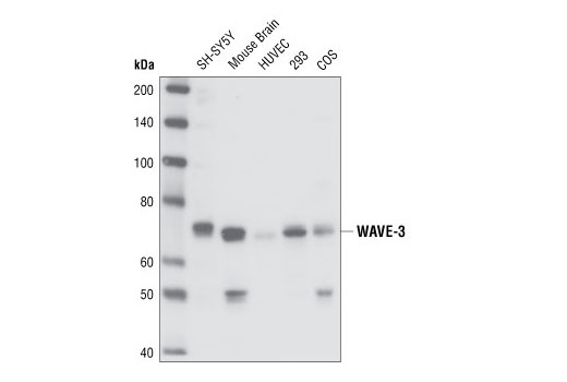 Western blot analysis of extracts from various cell types using WAVE-3 Antibody.