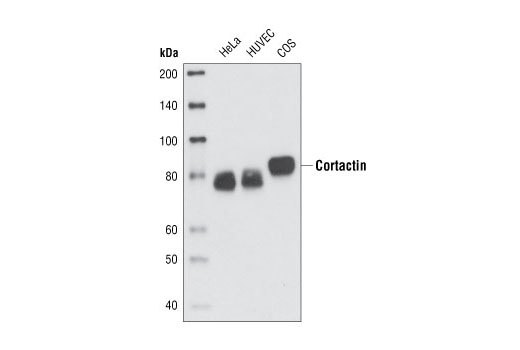 Western blot analysis of extracts from various cell types using Cortactin (H222) Antibody.