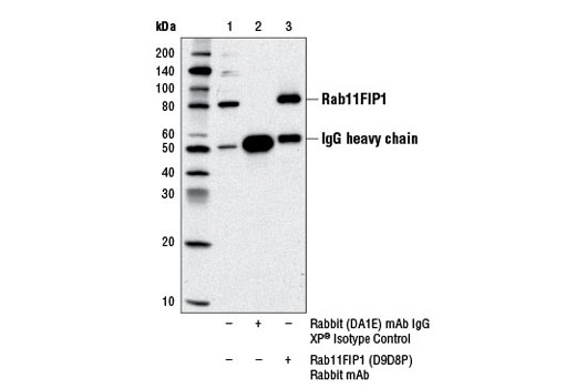 Immunoprecipitation of Rab11FIP1 from HeLa cell extracts using Rabbit (DA1E) mAb IgG XP<sup>®</sup> Isotype Control #3900 (lane 2) or Rab11FIP1 (D9D8P) Rabbit mAb (lane 3). Lane 1 is 10% input. Western blot analysis was performed using Rab11FIP1 (D9D8P) Rabbit mAb.