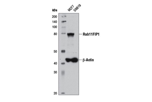 Western blot analysis of extracts from MCF7 and SNB19 cells using Rab11FIP1 (D9D8P) Rabbit mAb and β-Actin (D6A8) Rabbit mAb #8457.
