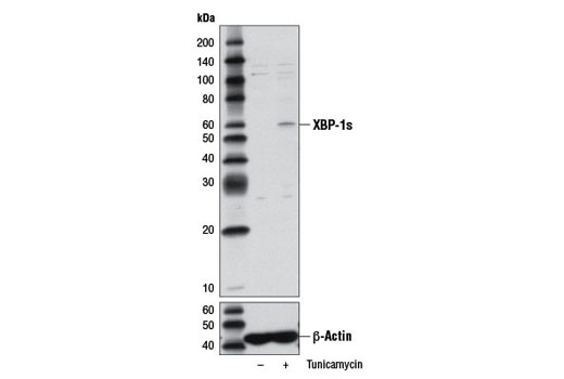 Western blot analysis of extracts from HeLa cells, untreated (-) or treated with tunicamycin (2 μg/ml, 8 hr; +), using XBP-1s (D2C1F) Rabbit mAb (upper) and β-Actin (D6A8) Rabbit mAb #8457 (lower).