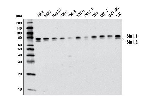 Monoclonal Antibody - Sin1 (D7G1A) Rabbit mAb - Immunoprecipitation, Western Blotting, UniProt ID Q9BPZ7, Entrez ID 79109 #12860, Pi3k / Akt Signaling