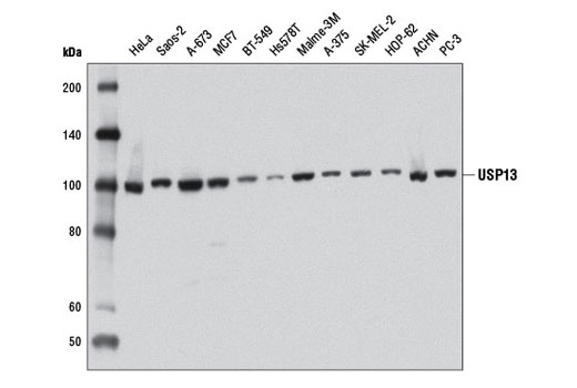 Monoclonal Antibody Western Blotting Omega Peptidase Activity - count 4