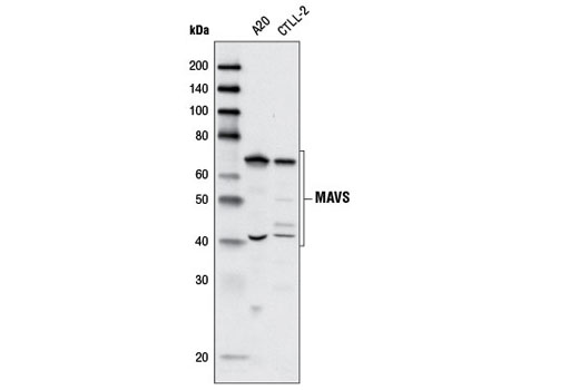 Western blot analysis of extracts from A20 and CTLL-2 cell lines using MAVS Antibody (Rodent Specific).