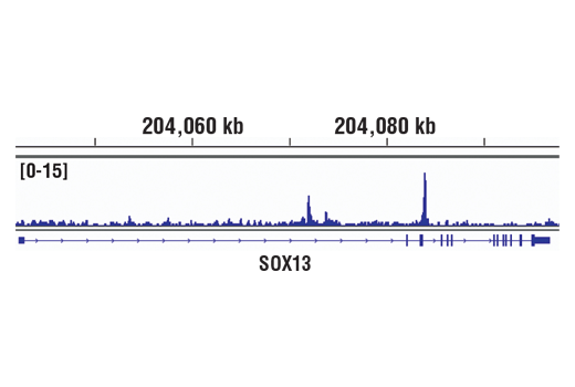 Chromatin immunoprecipitations were performed with cross-linked chromatin from SK-MEL-28 cells and MITF (D5G7V) Rabbit mAb, using SimpleChIP<sup>®</sup> Plus Enzymatic Chromatin IP Kit (Magnetic Beads) #9005. DNA Libraries were prepared using SimpleChIP<sup>®</sup> ChIP-seq DNA Library Prep Kit for Illumina<sup>®</sup> #56795. The figure shows binding across Sox13 gene. For additional ChIP-seq tracks, please download the product data sheet.