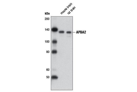 Monoclonal Antibody - APBA2 (D8A6) Rabbit mAb - Immunoprecipitation, Western Blotting, UniProt ID Q99767, Entrez ID 321 #12731 - Primary Antibodies