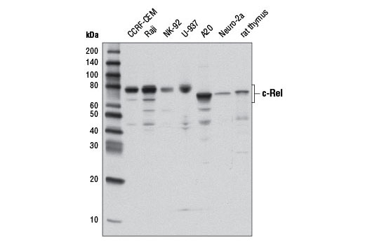 Western blot analysis of extracts from various cell lines and tissues using c-Rel (D4Y6M) Rabbit mAb.