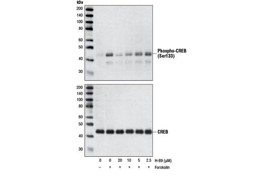 Chemical Modulators - H-89, Dihydrochloride - Western Blotting - 5.19 mg #9844 - Ca, Camp and Lipid Signaling