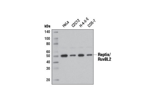 Monoclonal Antibody - Reptin/RuvBL2 (D8N3J) Rabbit mAb - Western Blotting, UniProt ID Q9Y230, Entrez ID 10856 #12668, Ruvbl2