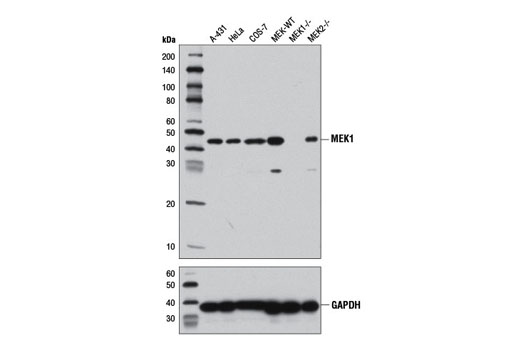 Western blot analysis of extracts from various cell lines using MEK1 (D2R1O) Rabbit mAb (upper) or GAPDH (D16H11) XP<sup>®</sup> Rabbit mAb #5174 (lower). MEK1/2 WT (MEK-WT), MEK1 knockout (MEK1-/-) and MEK2 knockout (MEK2-/-) MEFs were generously provided by Dr. Jean Charron, Centre de recherche du Centre hospitalier de l'Université Laval, Quebec, Canada.