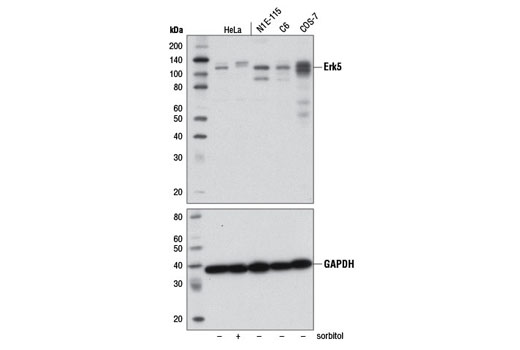 Monoclonal Antibody Negative Regulation of Camp Catabolic Process