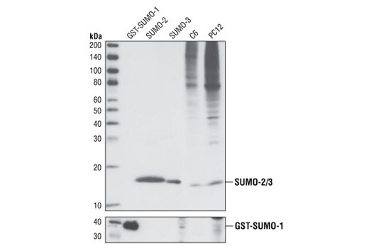 Western blot analysis of recombinant GST-SUMO-1 protein (38 kDa), recombinant SUMO-2, recombinant SUMO-3, and extracts from C6 and PC12 cells, using SUMO-2/3 (18H8) Rabbit mAb (upper) and SUMO-1 Antibody #4930 (lower).