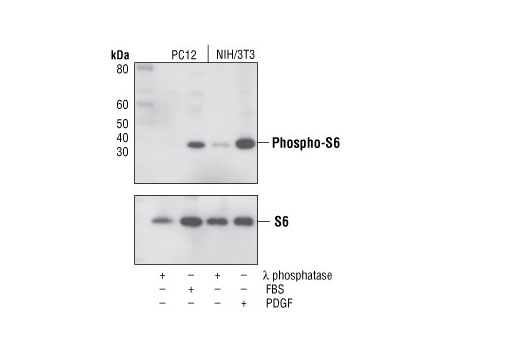 Western blot analysis of extracts from PC12 and NIH/3T3 cells, treated with λ phosphatase, 20% FBS (20 min) or 100 ng/ml PDGF (20 min) as indicated, using Phospho-S6 Ribosomal Protein (Ser235/236) (D57.2.2E) XP<sup>®</sup> Rabbit mAb (upper) or S6 Ribosomal Protein (5G10) Rabbit mAb #2217 (lower).