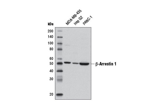 Western blot analysis of extracts from MDA-MB-435, Hep G2, and PANC-1 cells using β-Arrestin 1 (D8O3J) Rabbit mAb.