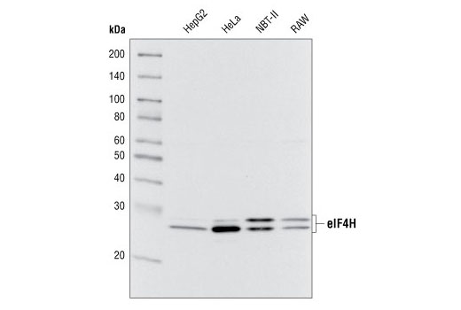 Western blot analysis of extracts from various cell types using eIF4H Antibody.