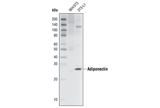 Western blot analysis of extracts from NIH/3T3 and 3T3-L1 cells using Adiponectin (C45B10) Rabbit mAb.