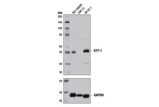 Western blot analysis of extracts from various cell lines using STF-1 (D1Z2A) XP<sup>®</sup> Rabbit mAb (upper) and GAPDH (D16H11) XP<sup>®</sup> Rabbit mAb #5174 (lower).