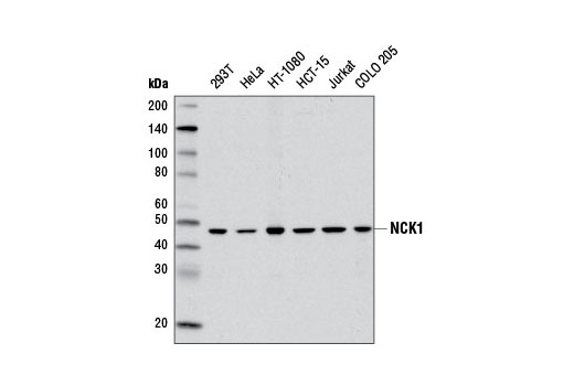 Western blot analysis of extracts from various cell lines using NCK1 (5B7) Mouse mAb.