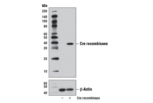 Monoclonal Antibody - Cre Recombinase (D3U7F) Rabbit mAb - Flow Cytometry, Western Blotting, UniProt ID P06956, Entrez ID 2777477 #12830 - #12830