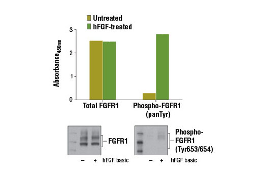 Figure 1: Treatment of A-204 cells with Human Basic Fibroblast Growth Factor (hFGF basic/FGF2) #8910 stimulates tyrosine phosphorylation of FGFR1, as detected by the PathScan<sup>®</sup> Phospho-FGF Receptor 1 (panTyr) Sandwich ELISA Kit #12909, but does not affect the level of total FGFR1 detected by PathScan<sup>®</sup> Total FGF Receptor 1 Sandwich ELISA Kit. Absorbance at 450 nm is shown in the top figure while corresponding western blots using FGF Receptor 1 (D8E4) XP<sup>®</sup> Rabbit mAb #9740 (left) and Phospho-FGF Receptor (Tyr653/654) Antibody #3471 (right) are shown in the bottom figure.