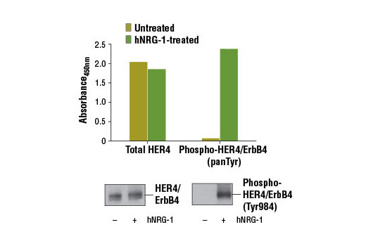 Figure 1: Treatment of T-47D cells with Human Neuregulin-1 (hNRG-1) #5218 stimulates tyrosine phosphorylation of HER4/ErbB4 protein, as detected by PathScan<sup>®</sup> Phospho-HER4/ErbB4 (panTyr) Sandwich ELISA Kit #13125, but does not affect the level of total HER4/ErbB4 detected by PathScan<sup>®</sup> Total HER4/ErbB4 Sandwich ELISA Kit #13010. The absorbance readings at 450 nm are shown in the top figure while corresponding western blots using HER4/ErbB4 (111B2) Rabbit mAb #4795 (left panel) and Phospho-HER4/ErbB4 (Tyr984) Antibody #3790 (right panel) are shown in the bottom figure.