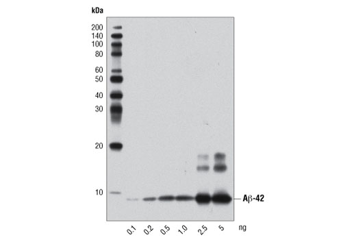 Western blot analysis of the indicated amounts of human Aβ-42 peptide using β-Amyloid (1-42 Specific) (D3E10) Rabbit mAb.