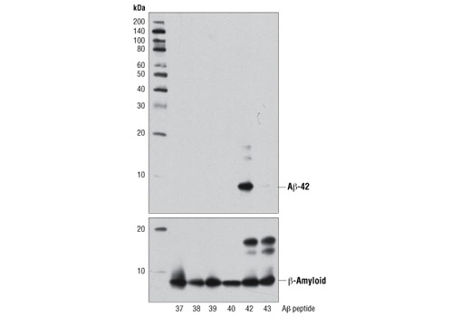 Western blot analysis of human Aβ-37, Aβ-38, Aβ-39, Aβ-40, Aβ-42, and Aβ-43 peptides (2.5 ng) using β-Amyloid (1-42 Specific) (D3E10) Rabbit mAb (upper) or β-Amyloid (D54D2) XP<sup>®</sup> Rabbit mAb #8243 (lower).