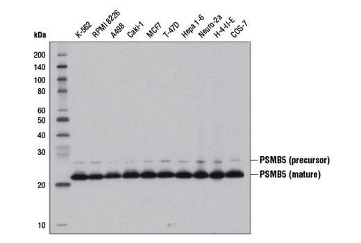 Monoclonal Antibody - PSMB5 (D1H6B) Rabbit mAb - Western Blotting, UniProt ID P28074, Entrez ID 5693 #12919 - Ubiquitin and Ubiquitin-Like Proteins