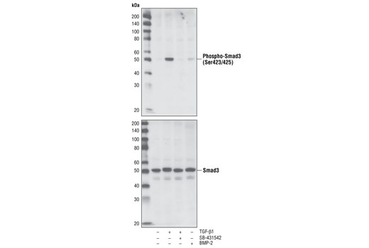 Western blot analysis of extracts from HT1080 cells, treated with TGF-β1, TGFR inhibitor SB-431542 or BMP-2, using Phospho-Smad3 (Ser423/425) (C25A9) Rabbit mAb #9520 (upper) or total Smad3 (C67H9) Rabbit mAb #9523 (lower).
