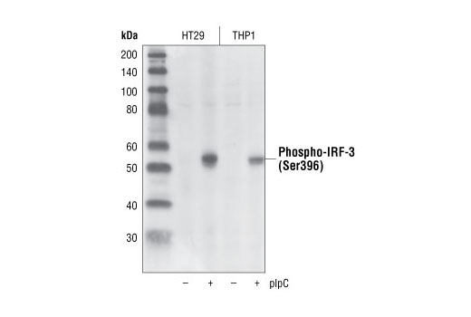 Western blot analysis of extracts from HT29 and THP1 cells, control or plpC-transfected (1 hour), using Phospho-IRF-3 (Ser396) (4D4G) Rabbit mAb.
