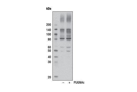 Monoclonal Antibody - O-GlcNAc (CTD110.6) Mouse mAb(HRP Conjugate) - 100 µl #12938