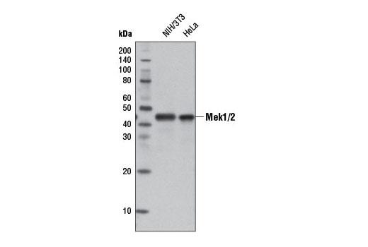 Monoclonal Antibody - MEK1/2 (D1A5) Rabbit mAb (HRP Conjugate), UniProt ID P36507, Entrez ID 5604 #13033 - #13033