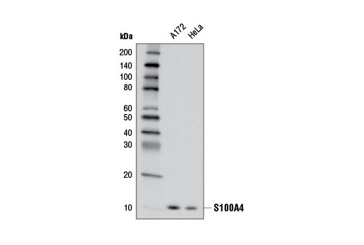 Western blot analysis of extracts from A172 and HeLa cells using S100A4 (D9F9D) Rabbit mAb.