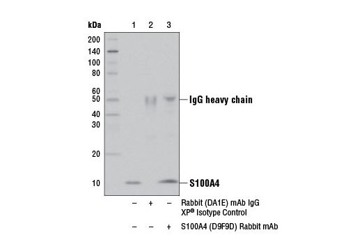 Immunoprecipitation of S100A4 from A172 cell extracts using Rabbit (DA1E) mAb IgG XP<sup>®</sup> Isotype Control #3900 (lane 2) or S100A4 (D9F9D) Rabbit mAb (lane 3). Lane 1 is 10% input. Western blot analysis was performed using S100A4 (D9F9D) Rabbit mAb.