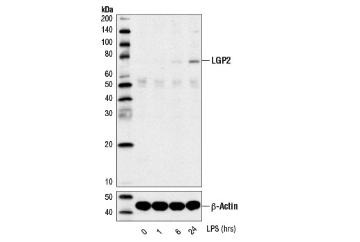 Western blot analysis of extracts from THP-1 cells differentiated with TPA #4174 (80 nM, overnight), untreated or LPS-treated (1 μg/ml for indicated times), using LGP2 (D3I3L) Rabbit mAb (upper) or β-Actin (D6A8) #8457 (lower).