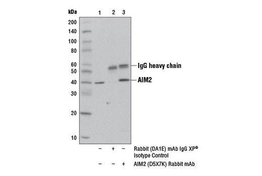 Immunoprecipitation of AIM2 from HL-60 cell extracts treated with Human Interferon-γ (hIFN-γ) #8901 (100 ng/ml, overnight) using Rabbit (DA1E) mAb IgG XP<sup>®</sup> Isotype Control #3900 (lane 2) or AIM2 (D5X7K) Rabbit mAb (lane 3). Lane 1 is 10% input. Western blot was performed using AIM2 (D5X7K) Rabbit mAb.