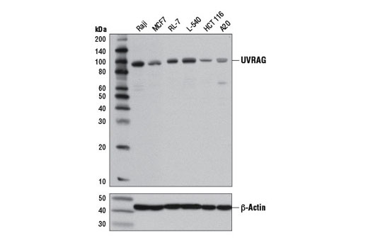 Western blot analysis of extracts from various cell lines using UVRAG (D2Q1Z) Rabbit mAb (upper) or β-Actin (D6A8) Rabbit mAb #8457 (lower). HCT 116 cells have been reported to contain a monoallelic frameshift mutation resulting in significantly reduced levels of endogenous UVRAG expression (11).