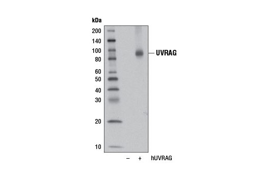 Western blot analysis of extracts from 293T cells, mock transfected (-) or transfected with a construct expressing human UVRAG (hUVRAG; +), using UVRAG (D2Q1Z) Rabbit mAb.