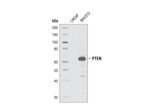Western blot analysis of extracts from LNCaP or NIH/3T3 cells using PTEN (138G6) Rabbit mAb #9559. NIH/3T3 cells express PTEN and LNCaP cells do not express PTEN. This assay serves to verify PTEN expression.
